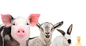 Portrait of cute farm animals, closeup