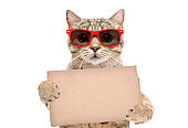Portrait of a cat Scottish Straight in red sunglasses with a carton banner in paws isolated on white background