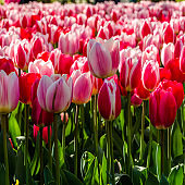 Pink tulips, spring background