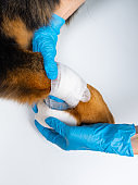 The vet bandages the wound on the dog's paw. Treatment dogs have the vet.
