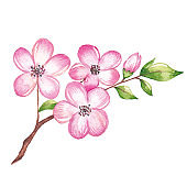 Watercolor cherry blossom branch