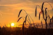 Rye ears against a sunset