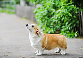 happy Welsh corgi dog stay on road.