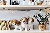 Three cute playful puppies Welsh Corgi Pembroke is in a festive interior