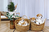 Pembroke Welsh Corgi puppies in a baskets indoors.