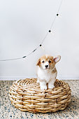 Puppy of Pembroke Welsh Corgi with the bulged ear posing on the floor at home