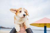Welsh Pembroke Corgi puppy dog is in woman hands