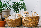 Cute puppies have a rest in two straw basket on floor.