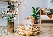 Portrait of a charming puppy in a home interior