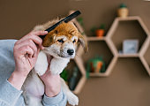 Man grooming puppy welsh corgi pembroke in home room