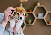Owner grooming puppy welsh corgi pembroke in home room