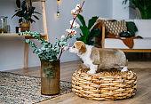 Welsh Corgi Pembroke puppy smelling flowers in home room