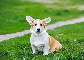 Shot of a cute corgi puppy dog sitting on green grass while outdoors in park.