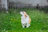 Cute dog Welsh Corgi Pembroke on the grass