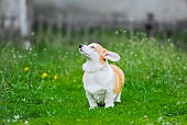 Shot of a cute corgi puppy dog sitting on green grass
