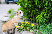 Welsh Corgi dog and dandelions outdoors