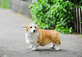 A happy thoroughbred Welsh Corgi dog outdoors by the road on a sunny day.