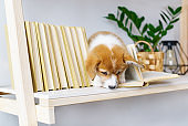 Playful puppy of corgi on the bookshelf.