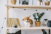 Puppy with amusing ears play on bookshelf.