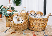 Funny puppies of Welsh Corgi Pembroke in the baskets