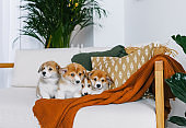 Corgi puppies on home sofa