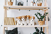 Group of cute puppies on bookshelf