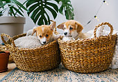 Cute dog puppies sitting in two straw basket