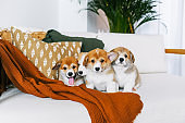 Corgi puppies on home couch