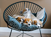 Cute puppies of Welsh Corgi Pembroke lie on pillows.