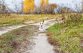 Funny Jack Russell dog runs on rural road