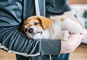 Cute puppy of welsh corgi pembroce in man hands. Closeup