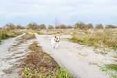 The funny running dog outdoors. Funny Jack russell terrier runs along the path in autumn
