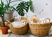Cute puppies is lying in two straw basket