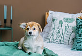 Welsh Corgi Pembroke puppy playing on bed in home bedroom