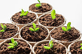 Fiber pots with seedlings of green plants.