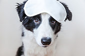 Funny cute smilling puppy dog border collie with sleeping eye mask isolated on white background