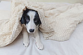 Funny portrait of cute smilling puppy dog border collie in bed at home