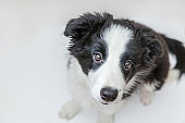 Funny studio portrait of cute smilling puppy dog border collie isolated on white background. Pet care and animals concept