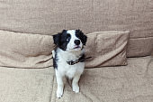 Funny portrait of cute smilling puppy dog border collie at home on couch waiting for reward