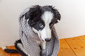 Funny studio portrait of cute smilling puppy dog border collie wearing warm clothes scarf around neck indoor at home