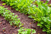 Agricultural field with green leaf lettuce salad and parsley on garden bed in vegetable field