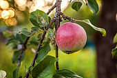 Perfect red green apple growing on tree in organic apple orchard