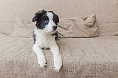 Funny portrait of cute smilling puppy dog border collie on couch at home. Pet care and animals concept