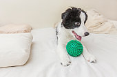 Funny portrait of cute puppy dog border collie lay on pillow blanket in bed and playing with green toy ball