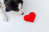 Funny studio portrait of cute smilling puppy dog border collie with red heart isolated on white background