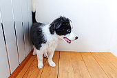 Funny portrait of cute smilling puppy dog border collie at home. Pet care and animals concept