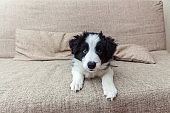 Funny portrait of cute smilling puppy dog border collie at home