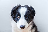 Funny studio portrait of cute smilling puppy dog border collie on white background