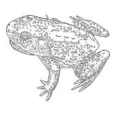 Forest Frog line illustration in grey.  Magic anuran or poison toad hand drawing. Witchcraft, voodoo magic attribute. Illustration for Halloween. Vector.