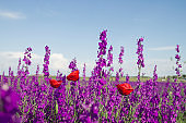 Colorful wild flowers. Delphinium ajacis purple flowers and red poppies growing wild in spring